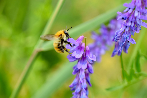 Yellow Bee on Purple Vetch by Sean Crabbe aged 17