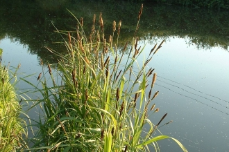 Greater Pond Sedge
