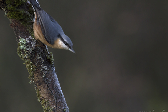 Nuthatch by Chris Lawrence