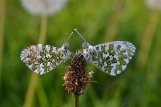 Pair of orange tip butterflies