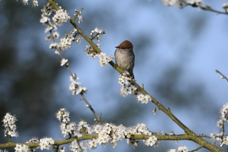 A female Blackcap pictured at Magor Marsh