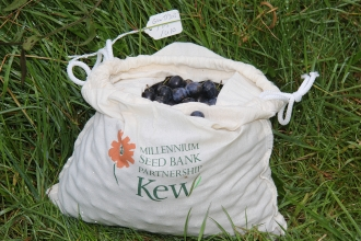 A bag of sloes collected by Gwent Wildlife Trust of the Kew Millennium Seed Bank