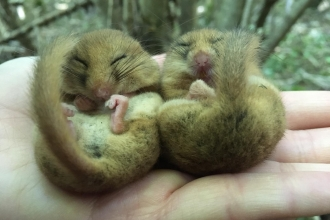 Two Dormice at Caerwent