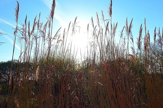 Reeds at Magor Marsh nature reserve