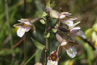 Flowering Marsh Helleborine