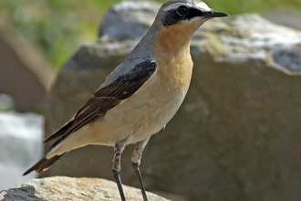 Photo for blogger Twheatear