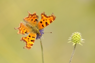Comma butterfly by Amy Lewis