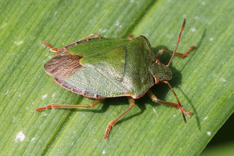 Close-up of a Green Shield bug