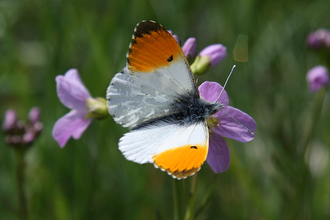 Orange-Tip Butterfly by Andy Karran