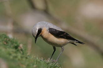 Wheatear (male) by Andy Karran