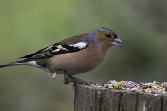 Male chaffinch eating seeds