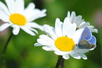 Common blue butterfly on oxeye daisy
