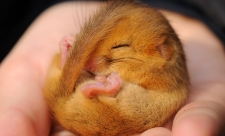 Dormouse by Amy Lewis