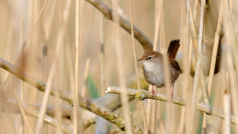 Cetti's warbler in reeds