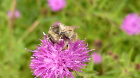 Shrill carder bee on flower