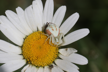 Crab spider on an Ox Eye daisy