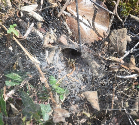 Funnel web and spider