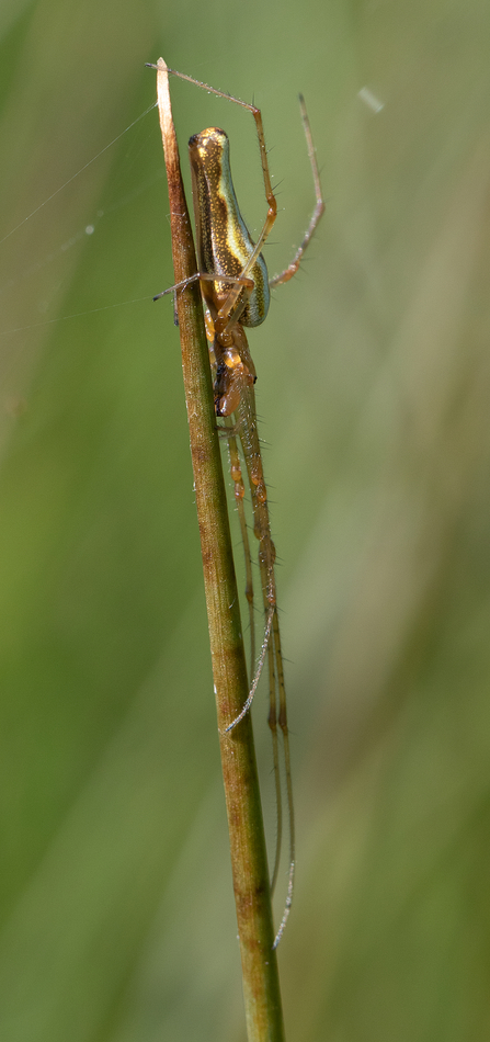 A Long Jawed Orb-weaver spider