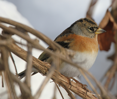 Brambling in bush