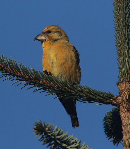Female Common Crossbill in tree